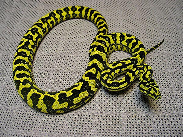 Jungle Carpet Python Morelia Spilota Cheynei This Subspecies