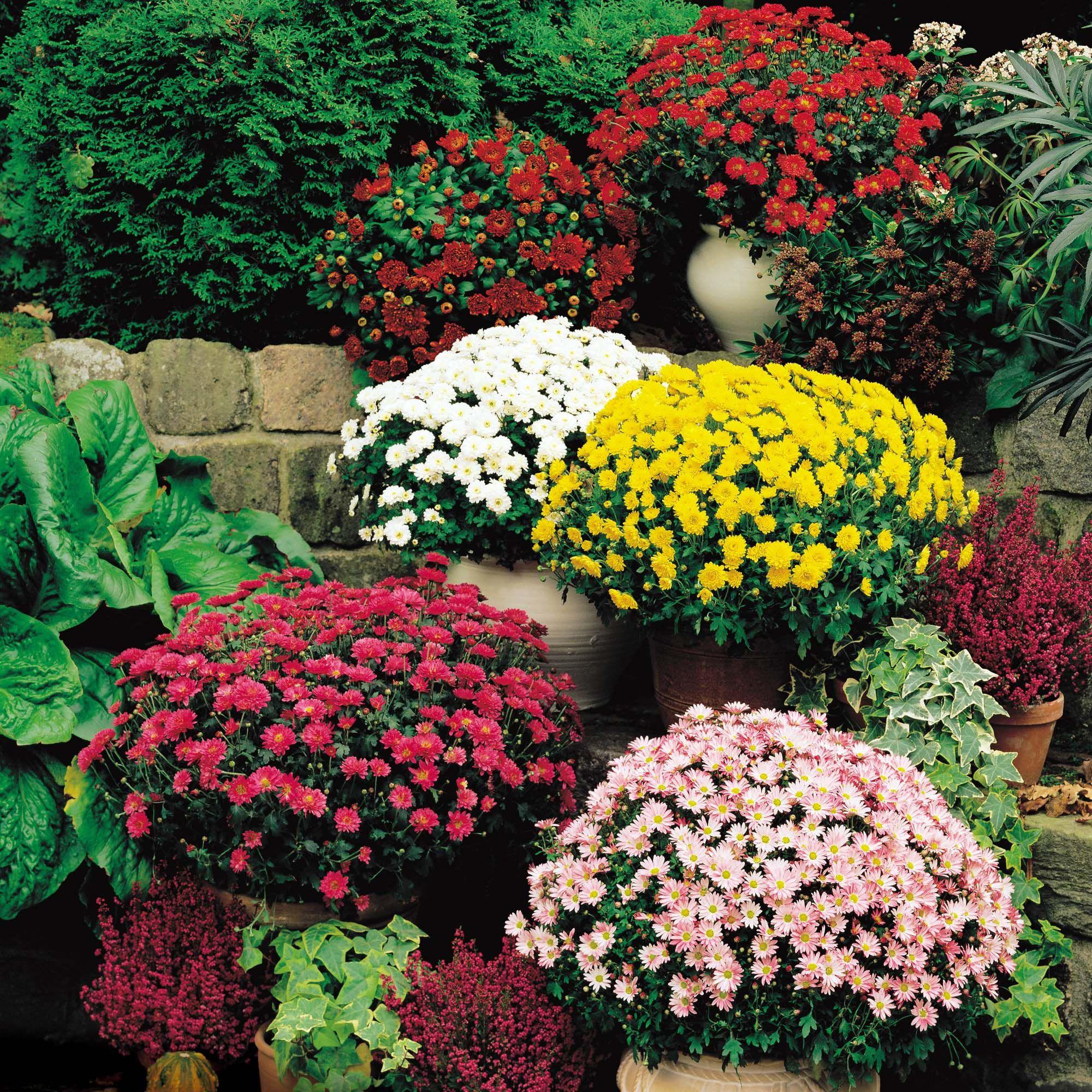 Chrysanthemum Hardy Cushion Mums Hardy Mums Perennials And