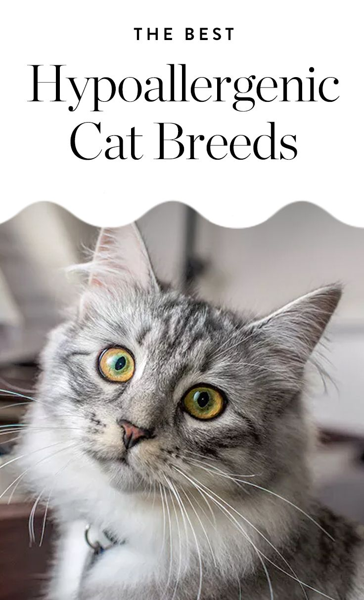 8 Pawsitively Adorable Hypoallergenic Cat Breeds