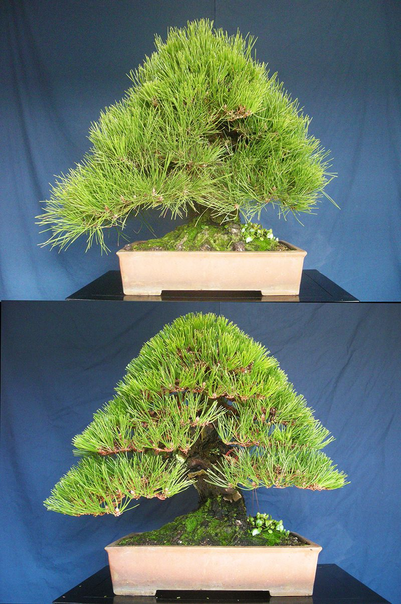 黒松・Black Pine : Styled By N.M.