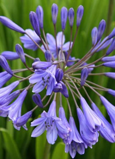Agapanthus Chatham Nurseries Garden Shrubs Agapanthus Lily Plants