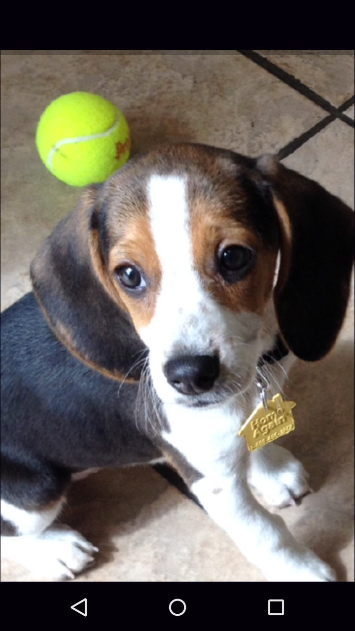 BABY FRIDA at 3 months old wow,how the time flys <3 : beagle