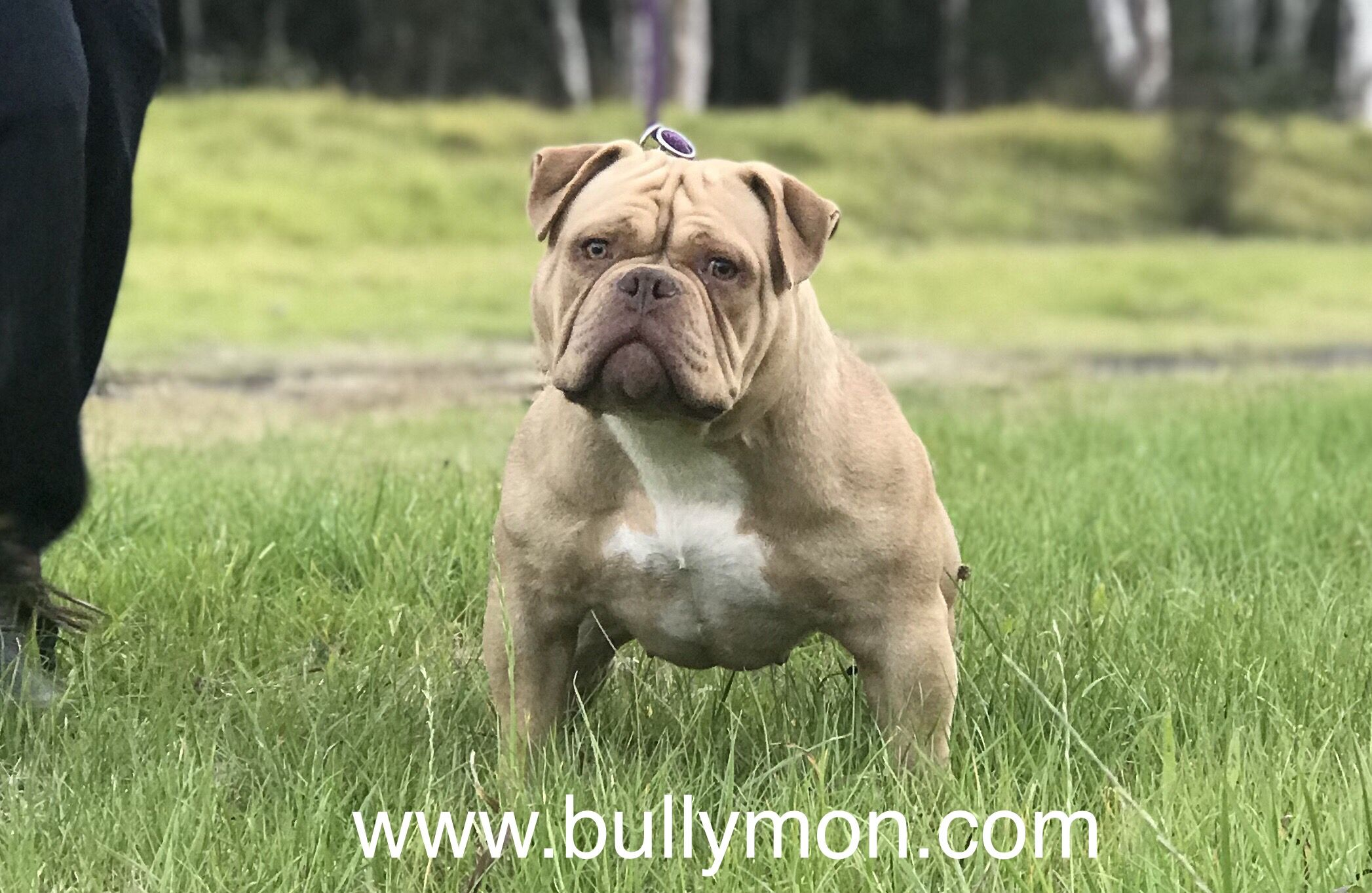 Chocolate Fawn American Bully Female Pocket To Micro Size Bullies Are Slightly Shorter Than Their Male Coun American Bully American Bully Kennels Bully Breeds