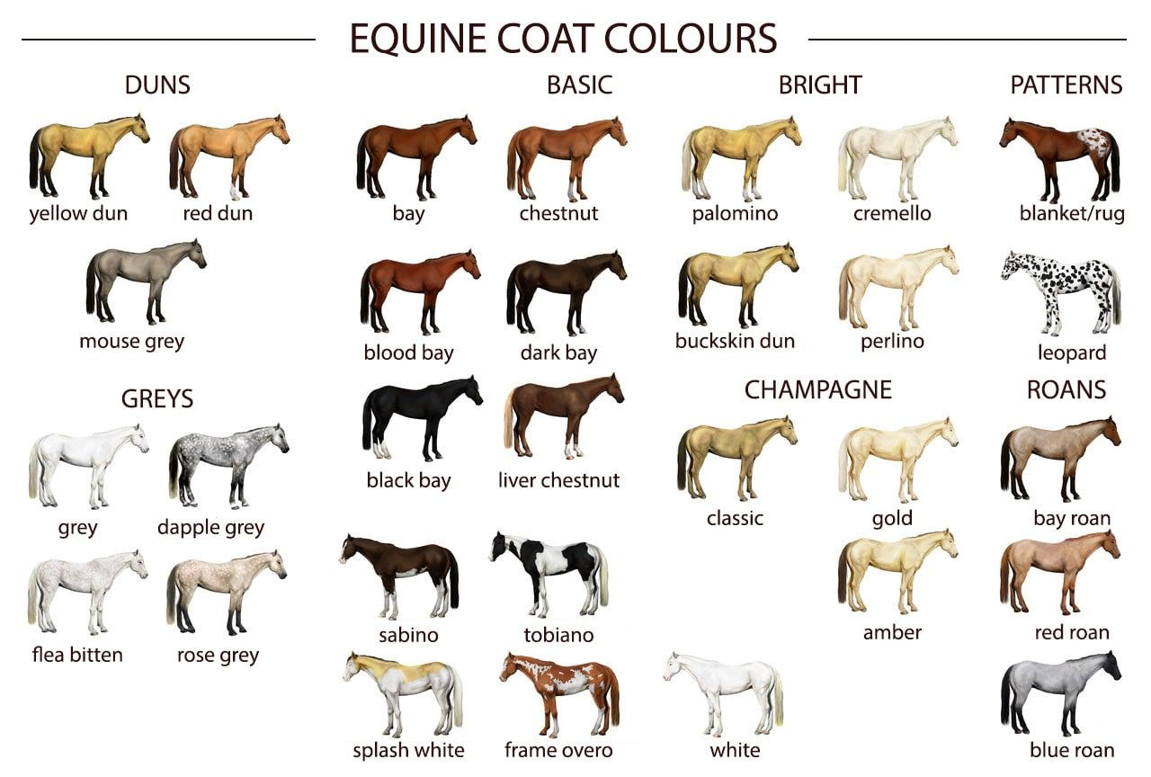 Equine Coat Colours
