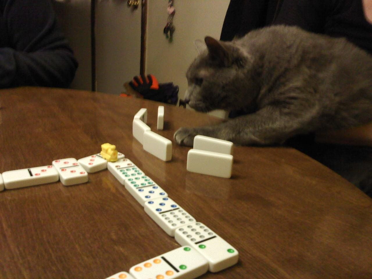 Russian Blue Peanut is serious about playing Dominos! #Cats #Cute #RussianBlue
