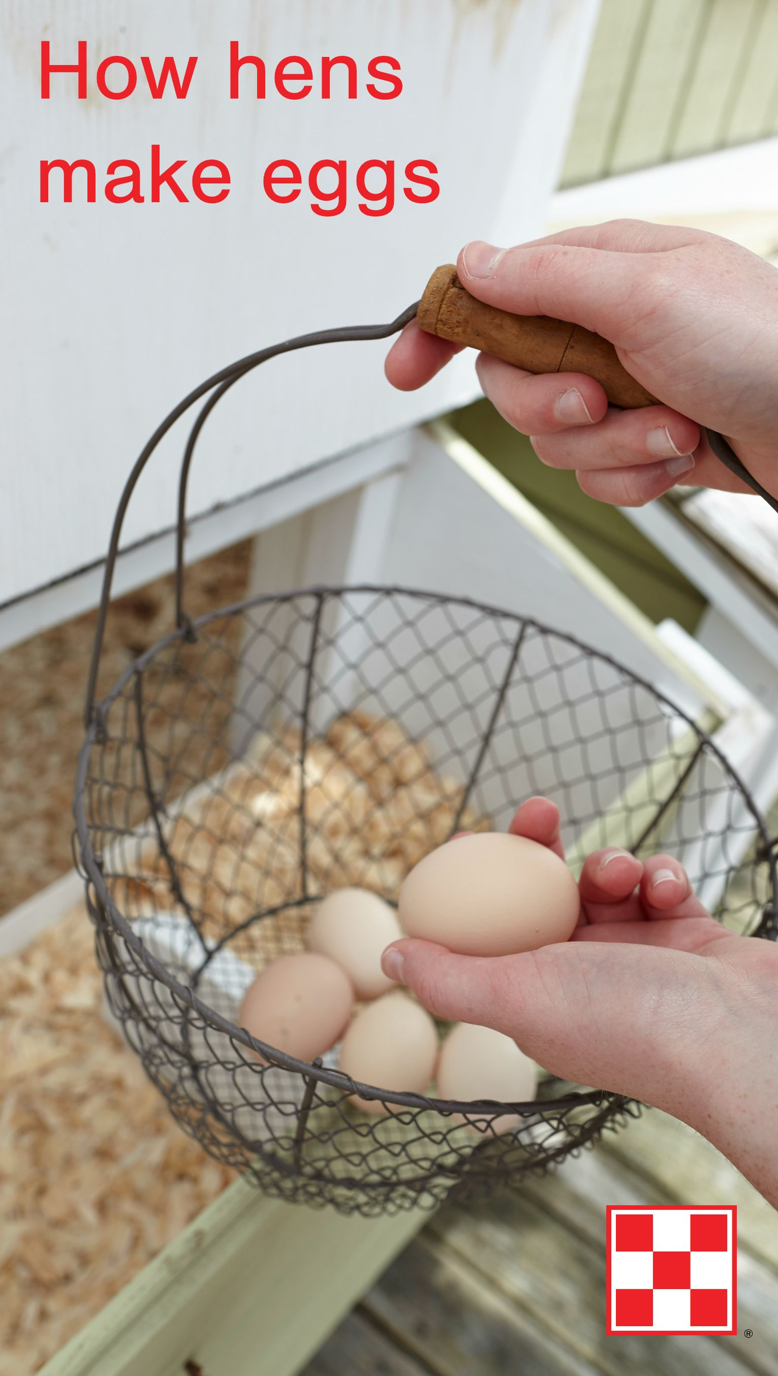 Single Working Mom: How Long Are Fresh Laid Eggs Good For