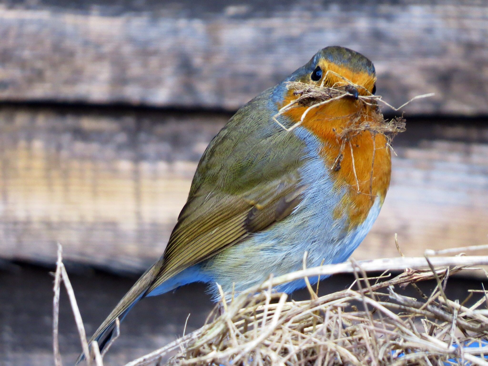 female Robin building a nest | Vogels