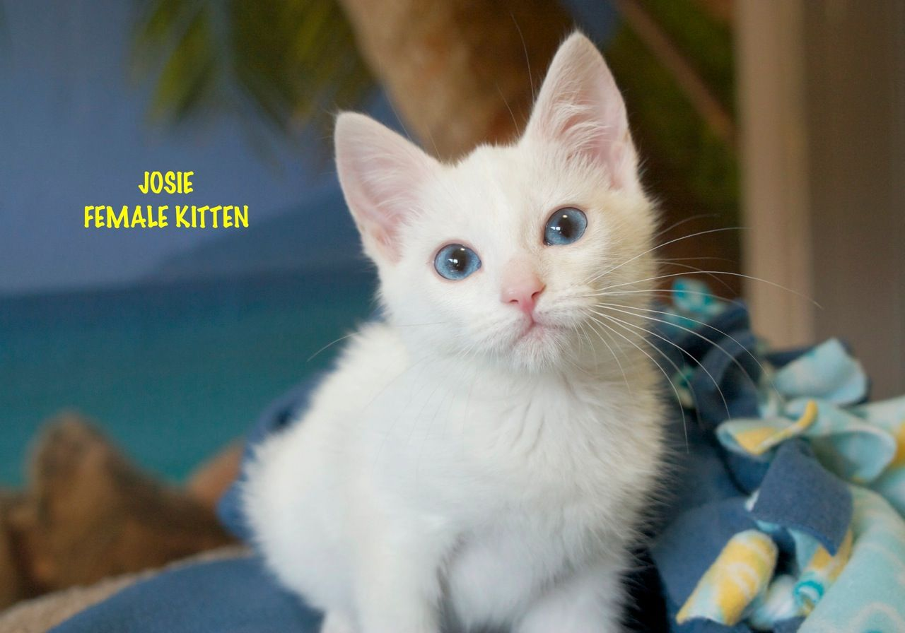 Josie a White Kitten for Adoption Adopted Cats
