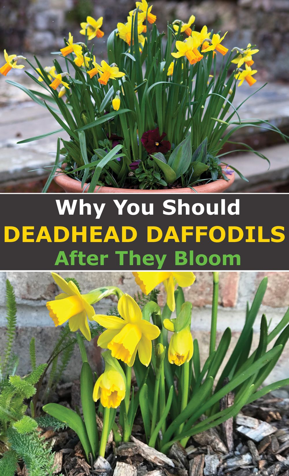 Why You Should Deadhead Daffodils After They Bloom Gardening For Beginners Easy Garden Daffodils Planting