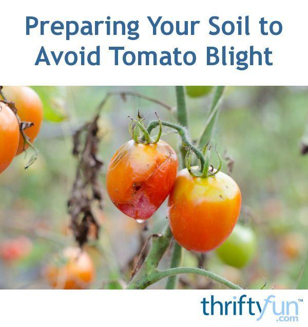 Preparing Your Soil to Avoid Tomato Blight | Gardening