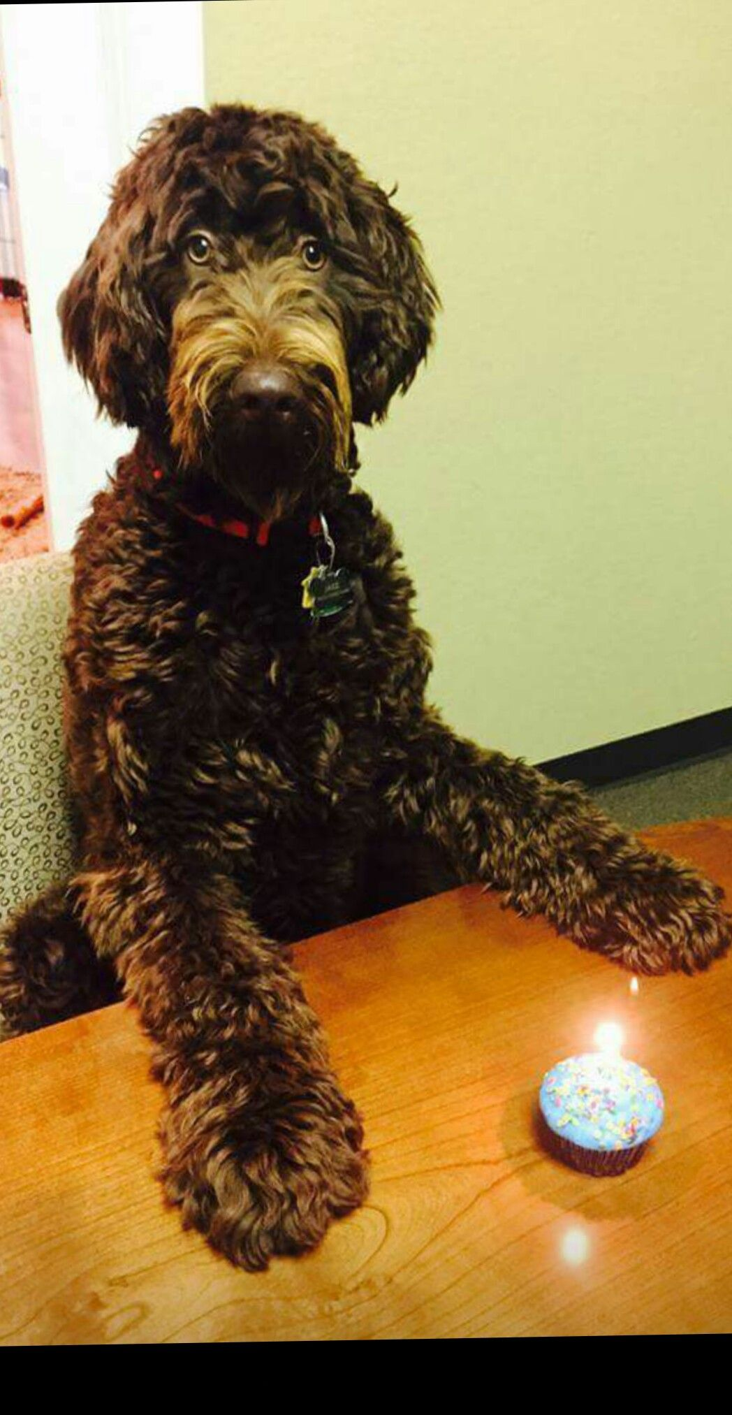 Chocolate Labradoodle From Southern Doodles And Poodles