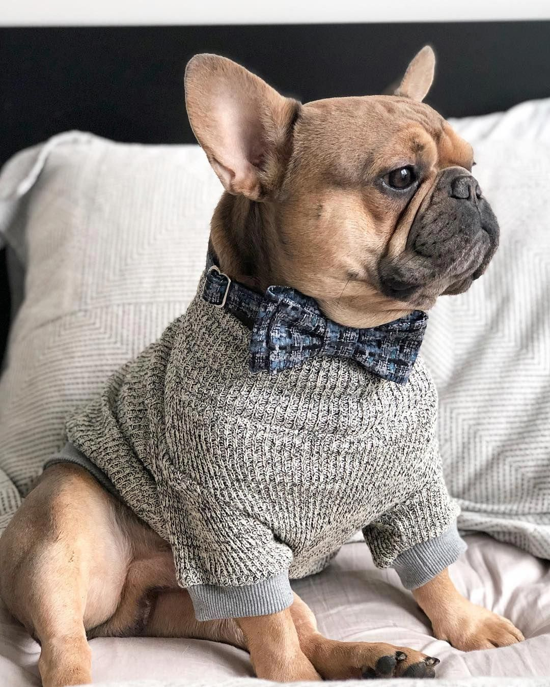 Archie The French Bulldog Puppy By Archie Frenchie On Instagram Bulldogpuppies Bulldog Puppies French Bulldog Clothes French Bulldog Puppies