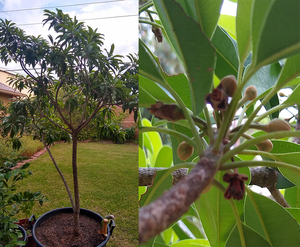 Why My Sapodilla Is Not Fruiting Q I Bought A Sapodilla Tree From You Several Years Ago Silas Woods I Fast Growing Shade Trees Fragrant Plant Growing Tree