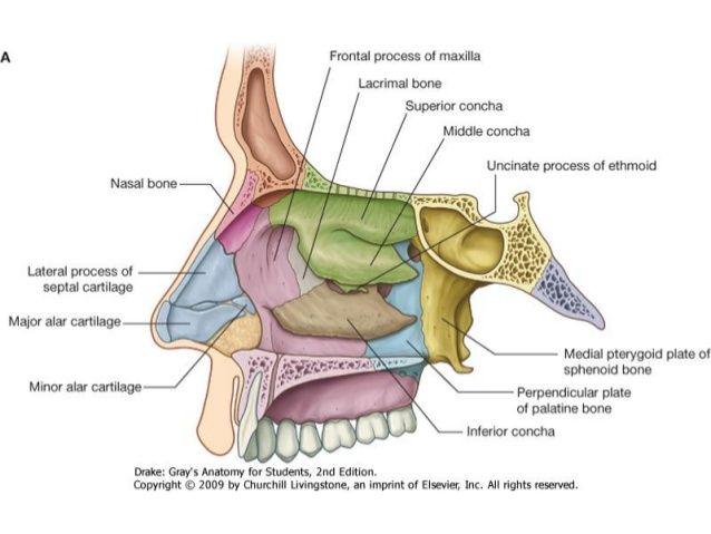 Resultado de imagen para cavidad nasal anatomia for Pared lateral de la cavidad nasal