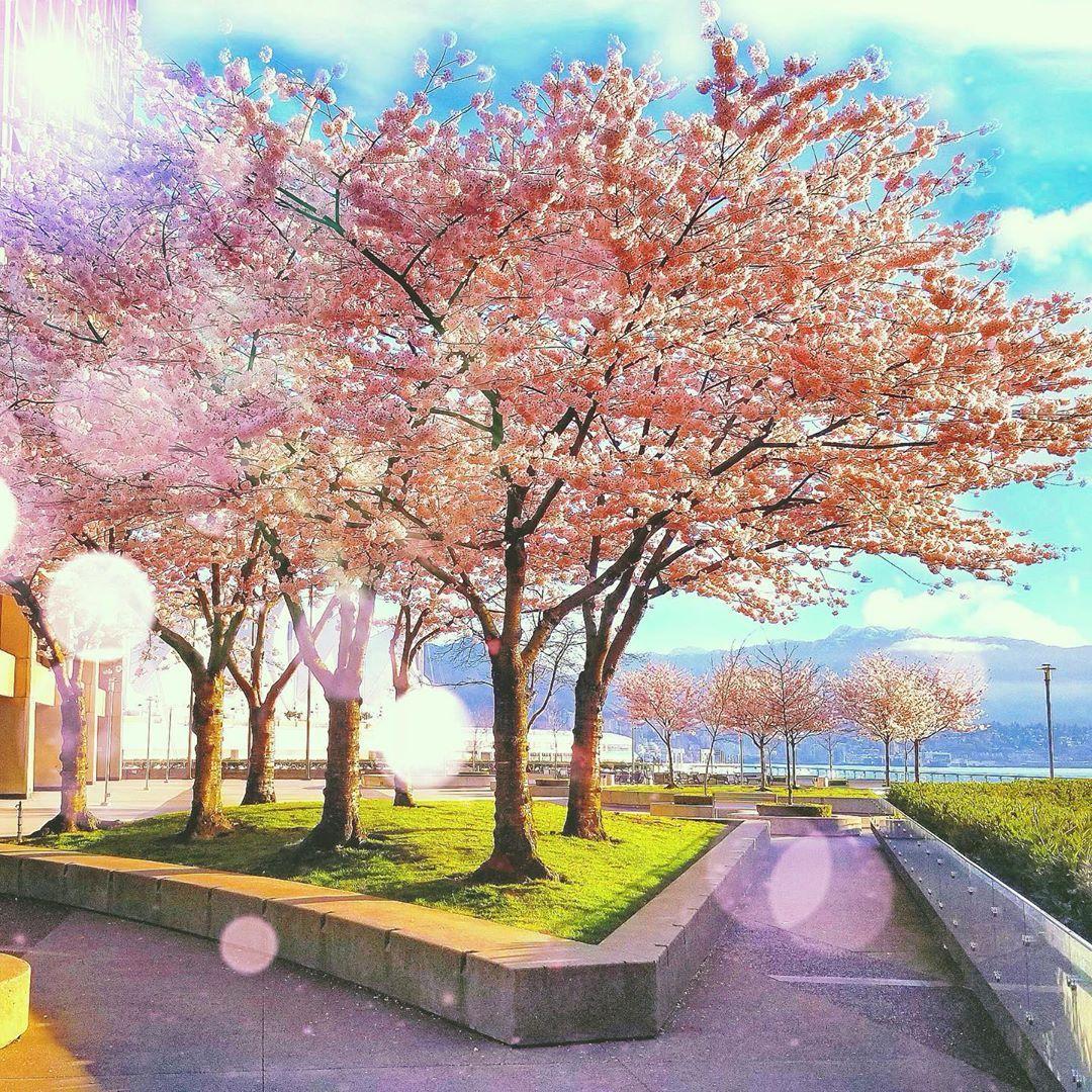 Pin By Fran Mccann On Art Drawings Instagram Cherry Blossom Photo