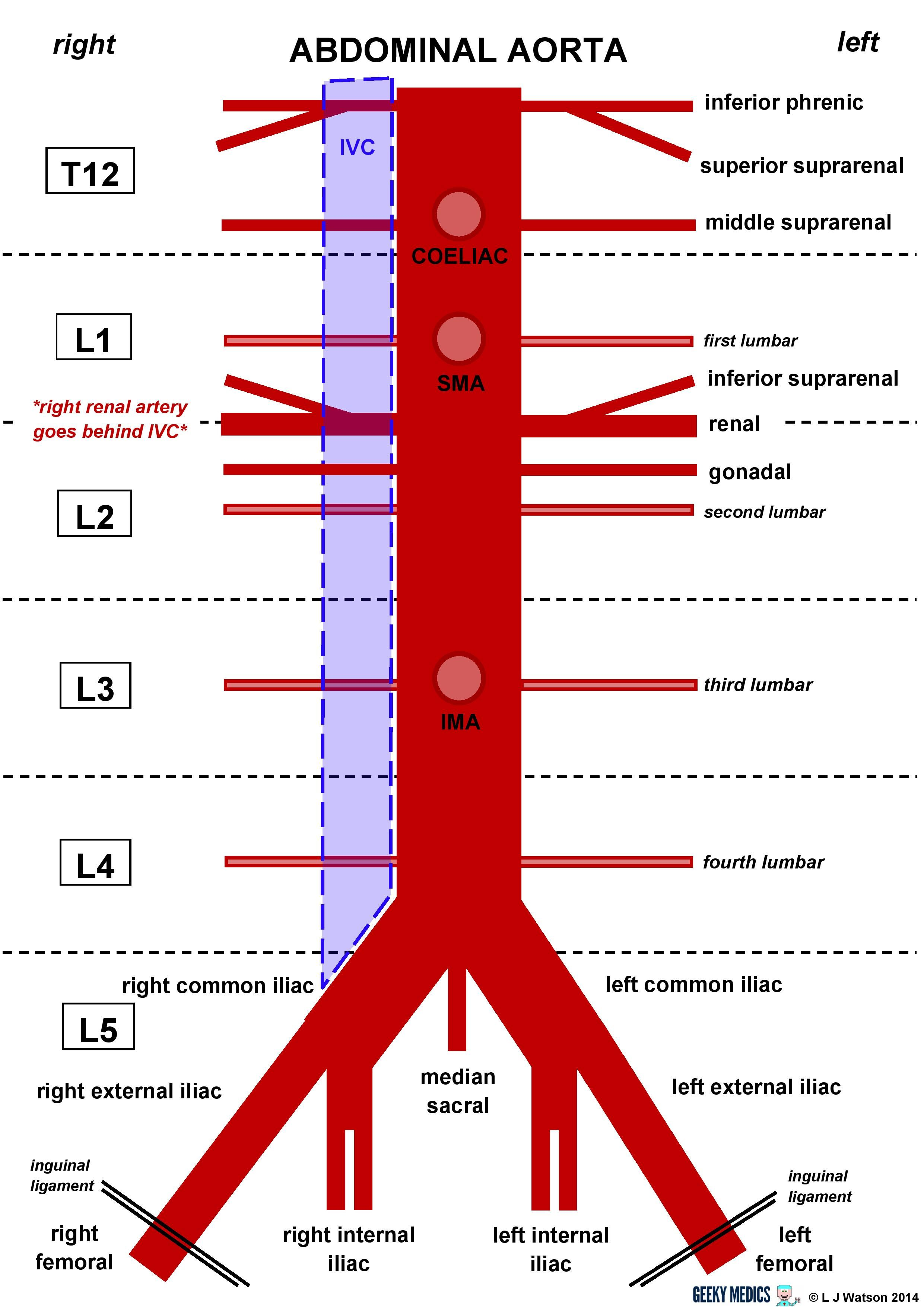 Print Anatomy Of The Arteries Of The Trunk