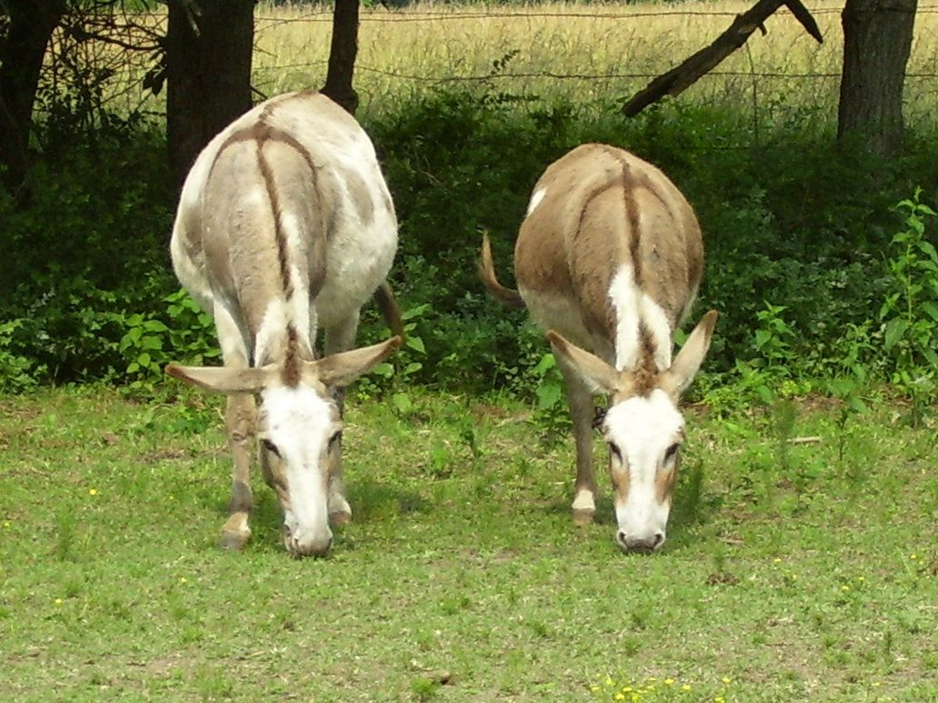 donkeys | donkeys 01 by ~greenleaf-stock on deviantART