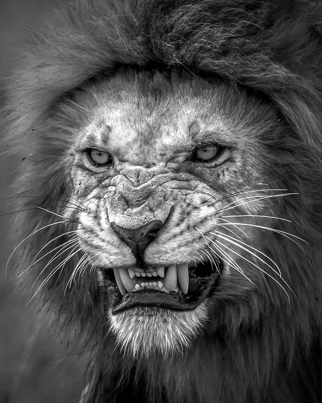Leão preto e branco | Animais | Animais pretos, Leão preto ...