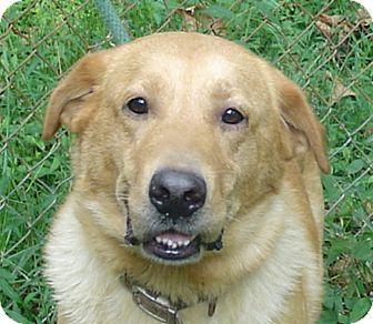 Delray Wv Golden Retriever Labrador Retriever Mix Meet Yellow