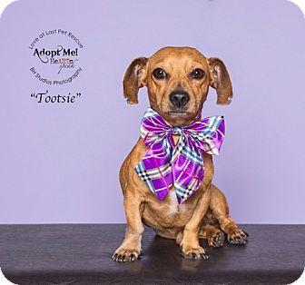 Katy Tx Dachshund Meet Tootsie A Dog For Adoption Http Www