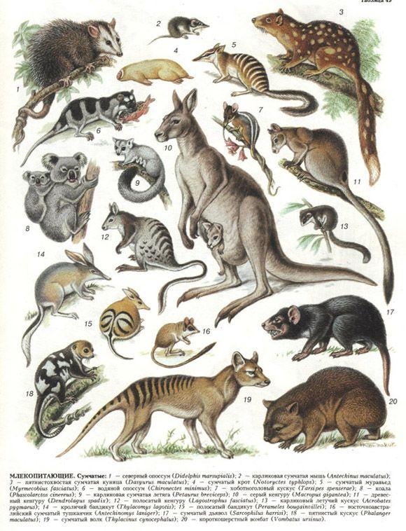 vintage   Animal   Pinterest   Marsupiales, Animales y Naturaleza