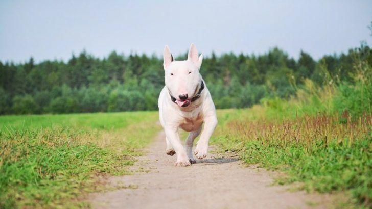 Presa canario puppies for sale uk
