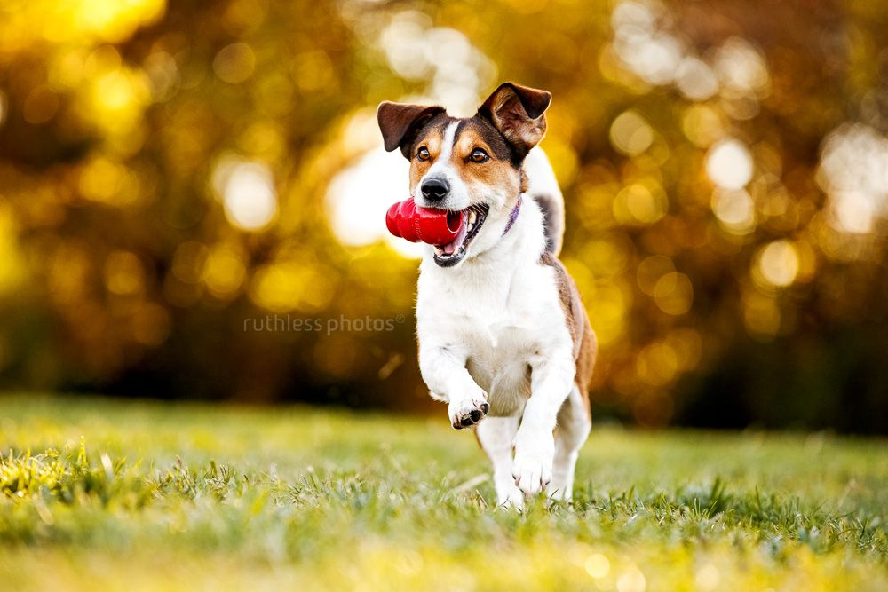 Small Terrier Running With Kong In Mouth Dog Photograph Dog