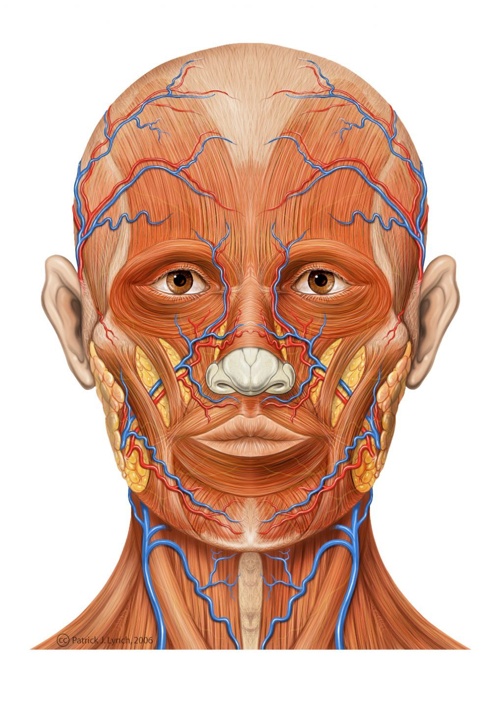 Anatomi Of Human Muscle Face With Images