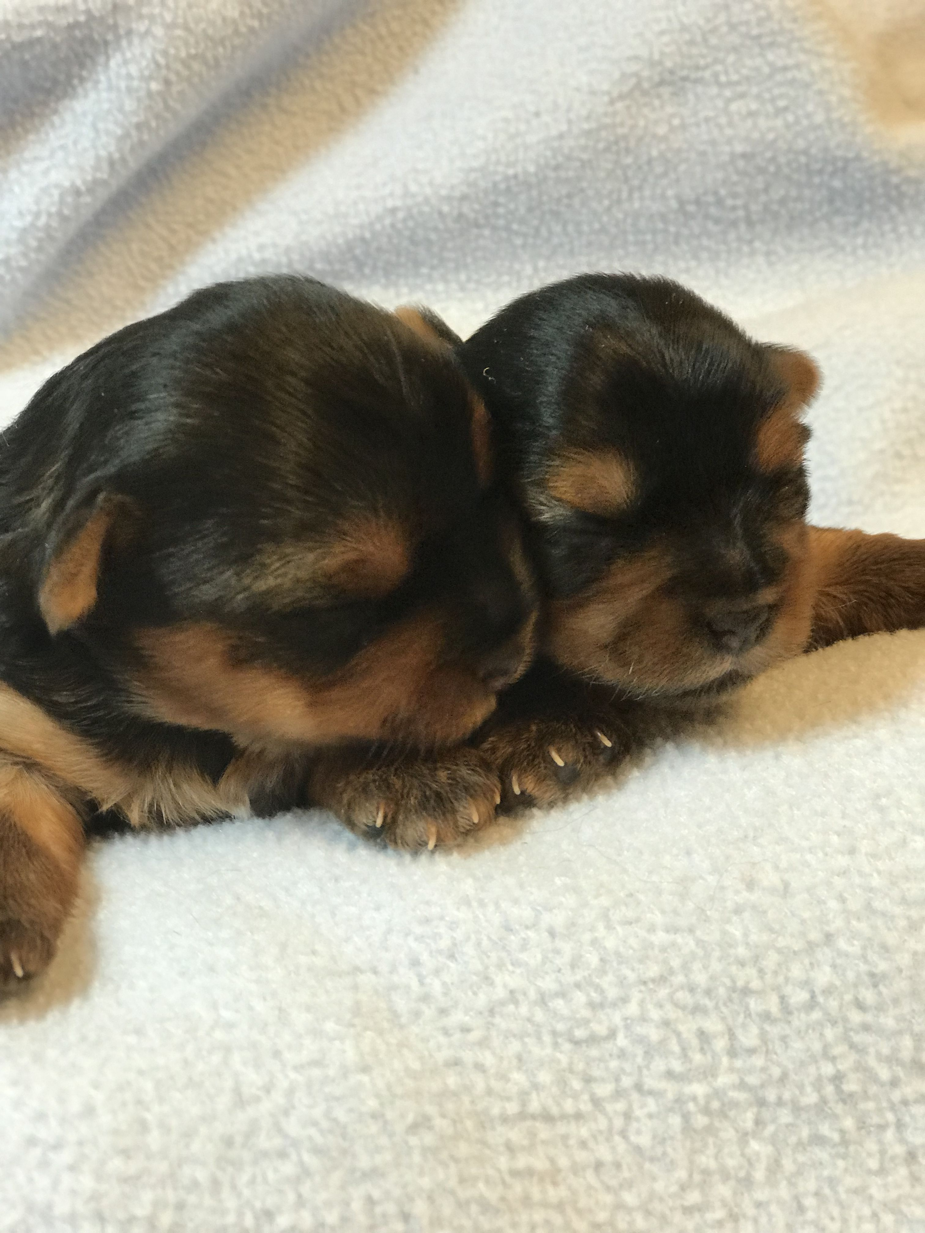 Radford Yorkshire Terriers 540 986 1604 Terrier Breeds Teacup Puppies Dogs