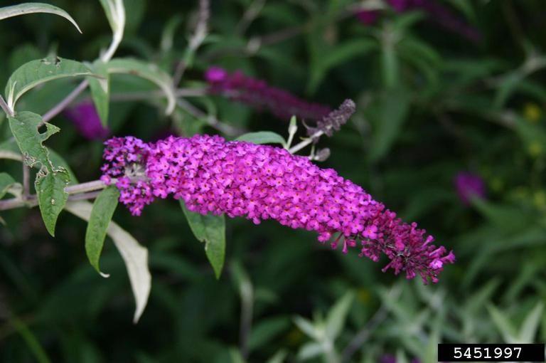 Buddleja Davidii Butterfly Bush Nc Invasive Plant Council Buddleja Davidii Butterfly Bush Invasive Plants