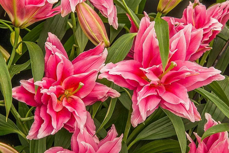 Pin On Pink Perennials