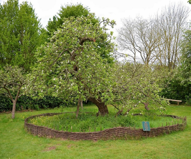 هل تعرفت على الشجرة التي سقطت منها التفاحة على رأس نيوتن من المؤكد أن جميعكم يعرف قصة التفاحة التي سقطت على رأس Garden Care Garden Maintenance Lawn Treatment