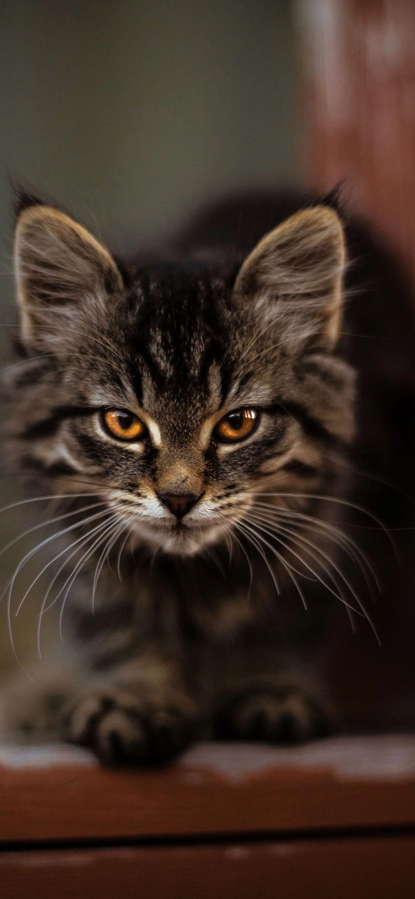 Such Intense Eyes On This Kitten Mainecooncats Silver Tabby Cat Tabby Cat Pictures Cats