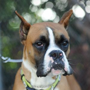 Flash Fawn Boxer With Cropped Ears Love Me Some Boxers Boxer Boxer Love Boxer Dogs