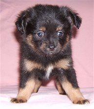 Pomchi Chi Pom Chiranian Pomeranian Chihuahua Cross