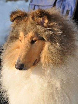 American Collies Switzerland In 2020 Rough Collie Collie Dog Collie