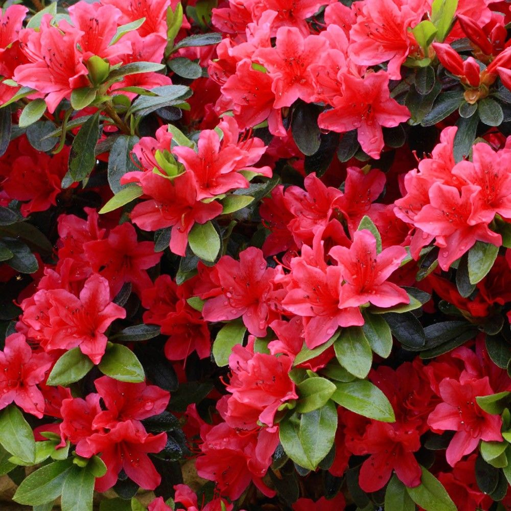 Azalea Diamond Red Dwarf Low Growing Shrubs 0 1m Shrubs By Size Shrubs Azalea Flower Red Shrubs Garden Shrubs
