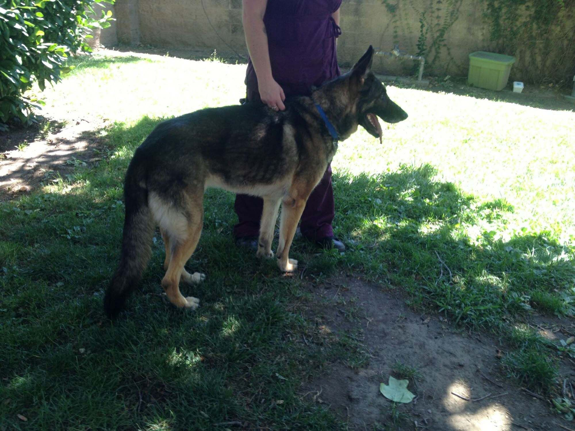 7 1 2 Year Old Emeree Was A Stray In Sacramento Now Taking It Easy In A Gsrnc Foster Home Good L German Shepherd Dogs German Shepherd German Shepherd Rescue