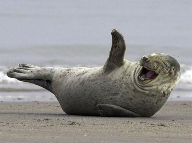 14 Focas Riendose De Chistes Malos Animales Sonrientes Animales Riendo Foca