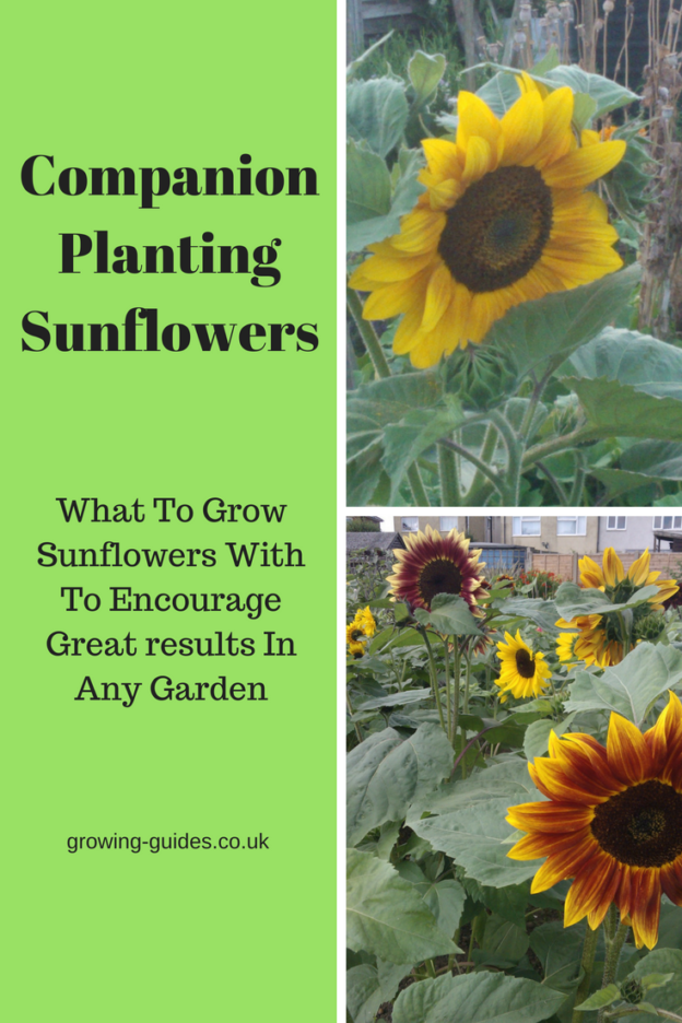 Companion Planting Sunflowers Growing Guides In 2020 Garden Companion Planting Companion Gardening Planting Sunflowers