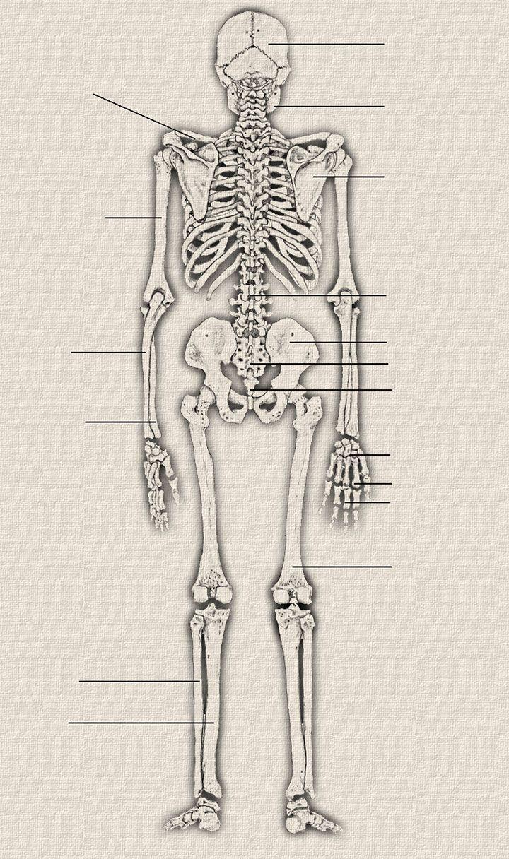 Skelett Vorderansicht | Medizin | Pinterest | Vorderansicht ...