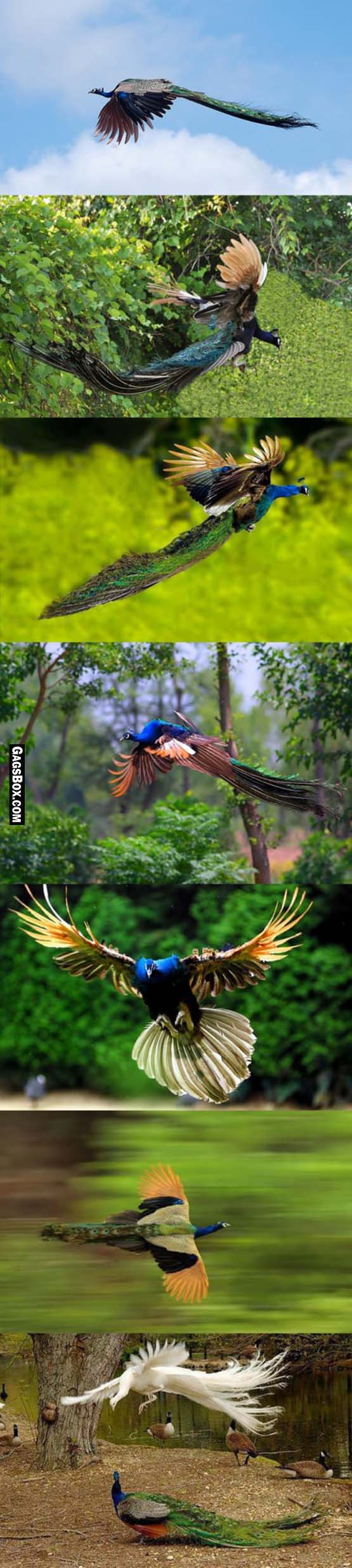 Flying Peacocks Totally Look Like Mythical Creatures LOL Funny - Flying peacocks look like mythical creatures