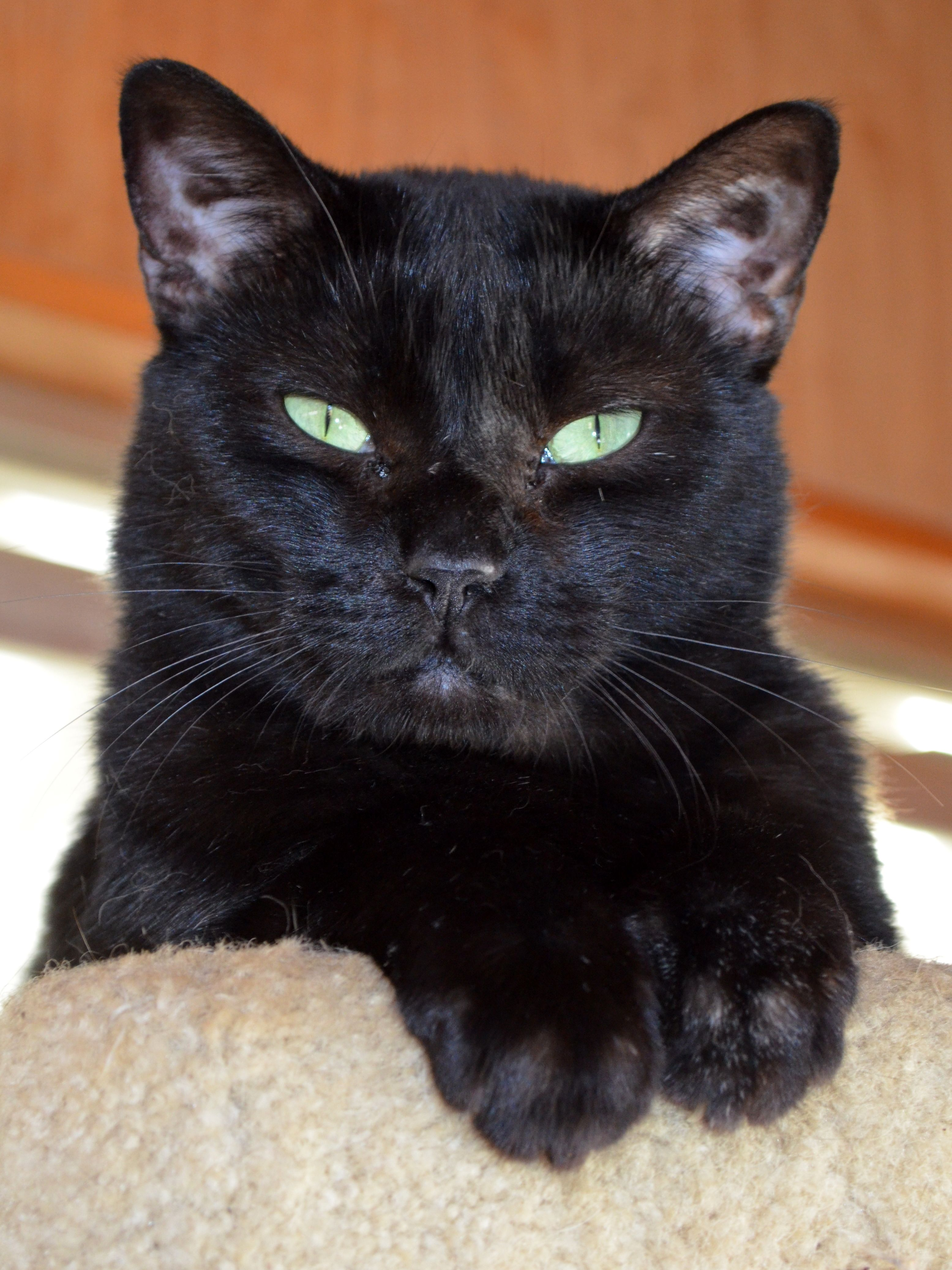 Cat of the Week Izzy is a female domestic shorthair who is