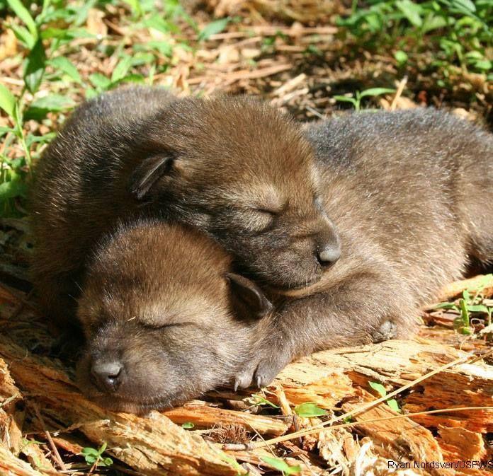 Jonge wolfjes...