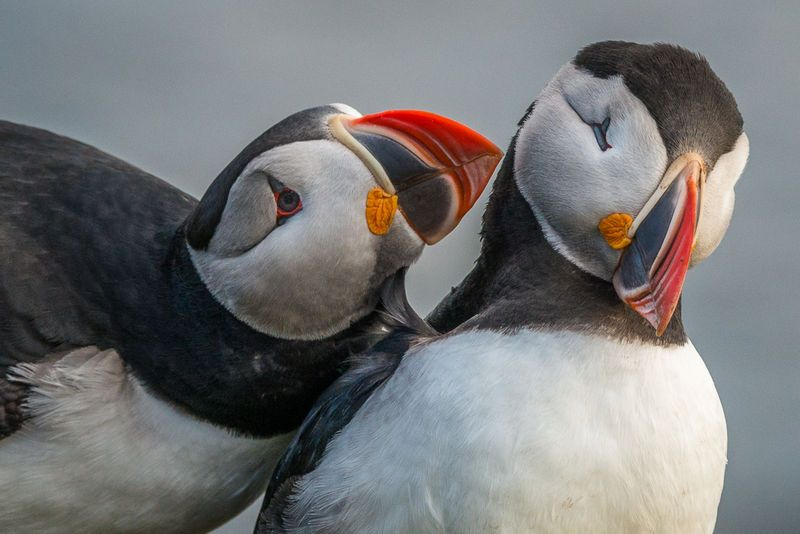 "Simsbury CT US - ""Courtship""""Puffin Sweethearts"""
