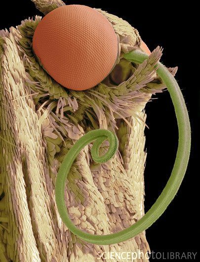 Moth head. Coloured scanning electron micrograph (SEM) of the head of a moth, showing one of its two large compound eyes (orange) and its long proboscis (coiled). Magnification: x35 when printed 10cm wide.