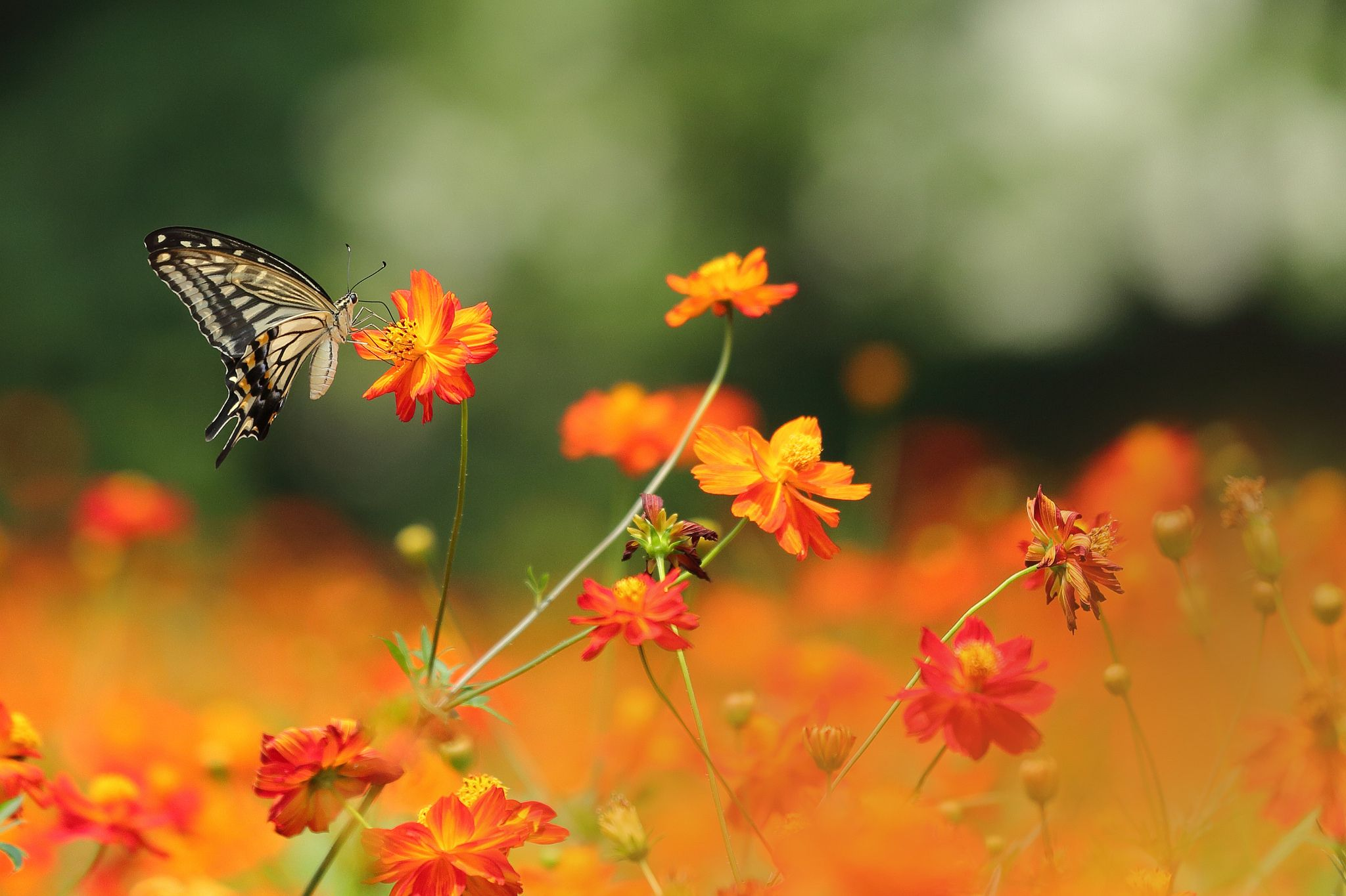 https://flic.kr/p/wWcX83 | a butterfly in the cosmos field. | 浜離宮