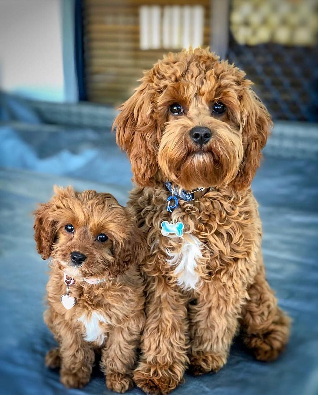 Cavapoo Puppies Are Very Expressive And Social That Makes Them Very Friendly And A Perfect Pet Allergies Season In 2020 Cavapoo Puppies Puppies Cute Dogs And Puppies