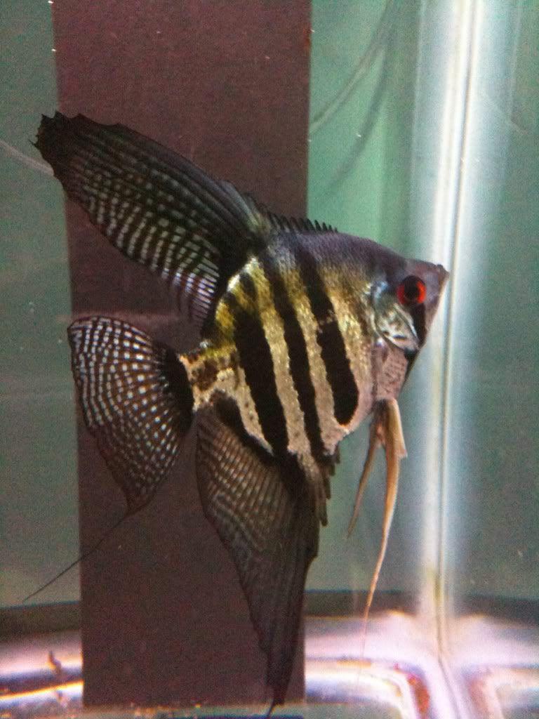 Freshwater aquarium fish for sale philippines - Black Pinoy Angelfish