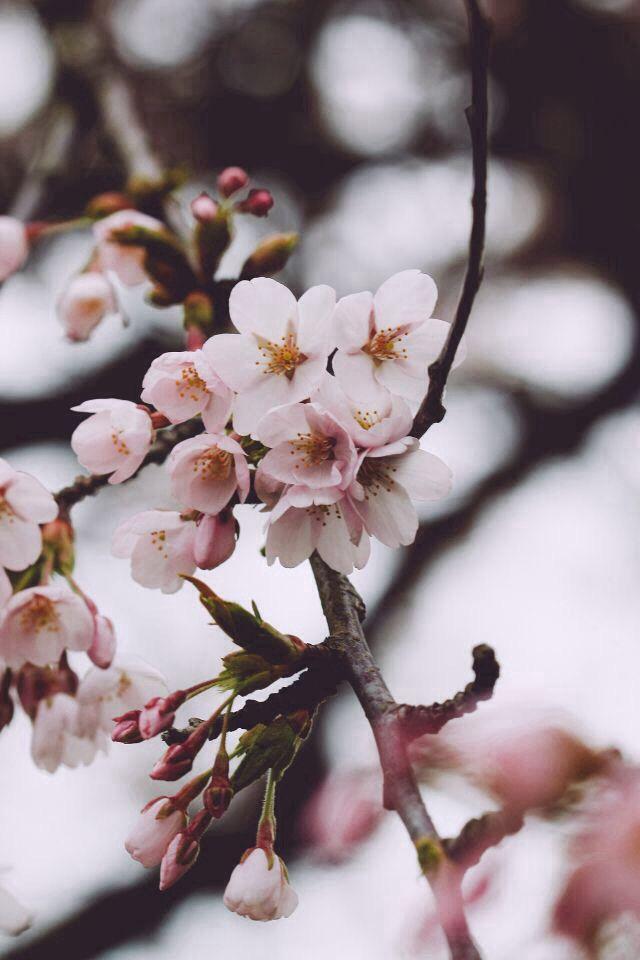 Cherry Blossoms Flores Fotografia Tumblr Wallpaper Wallpapers Natureza